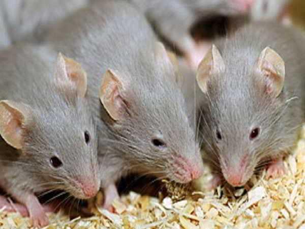 Nằm mơ thấy chuột đánh con gì