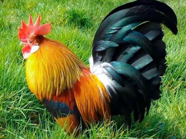 Nằm mơ thấy gà là điềm báo gì?