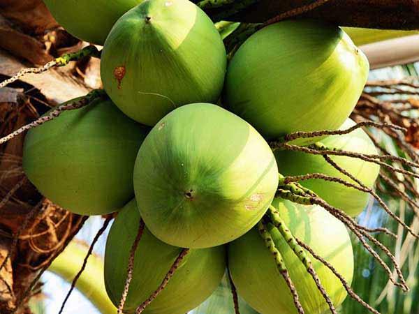 Nằm mơ thấy quả dừa là điềm báo gì?