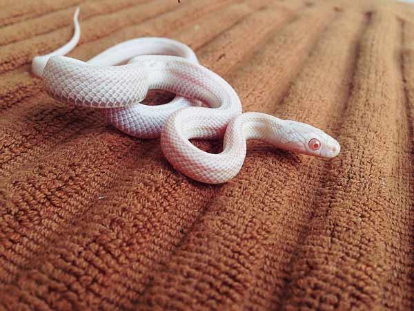 Chiêm bao thấy rắn trắng đánh con gì?
