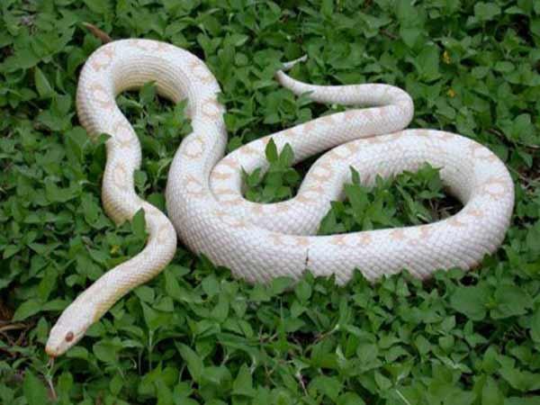 Nằm mơ thấy rắn trắng là điềm báo gì?
